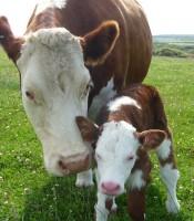 Cow & a calf
